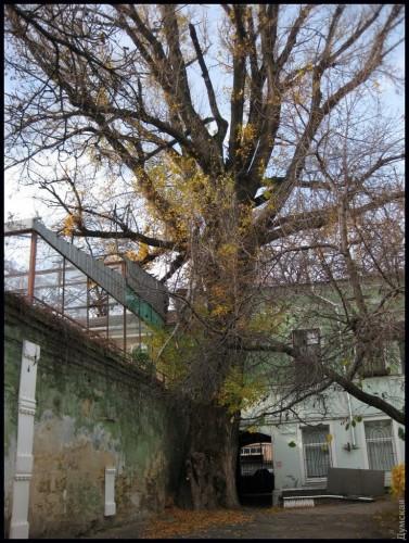 С деревом связаны легенды о Пушкине