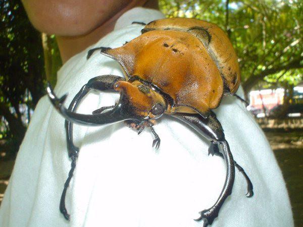 Ужасно большие самые гигантские жуки
