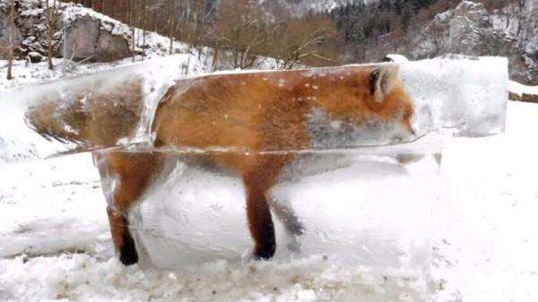 Лиса замерзла, провалившись под лед