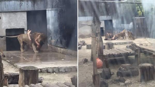 голые с львами фото