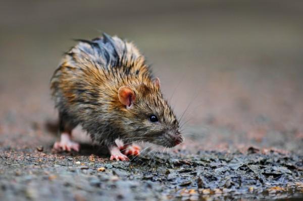 Пока нет чумы, количество крыс в Москве - не проблема