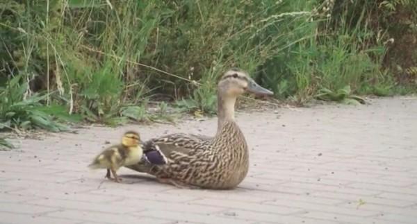 Утка покорно ждала, когда освободят утят