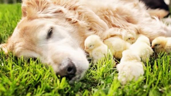 Необычная мама с цыплятами