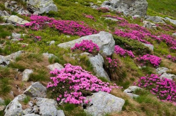 В Карпатских горах вновь начался сезон цветения рододендрона