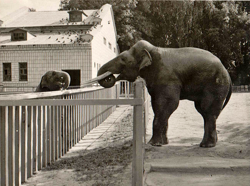 Слон Бой и слониха Бама 1982 год.