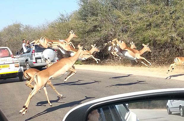 Стадо антилоп разогнало два гепарда