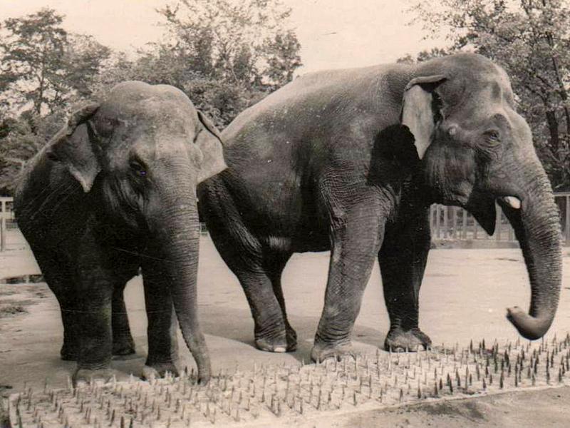Слон Беби и слониха Люция. 1957г.