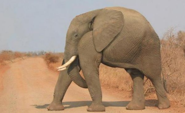 Слон без шеи похож на танк