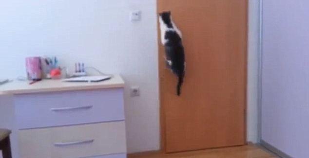 Для этого кота закрытая дверь не преграда