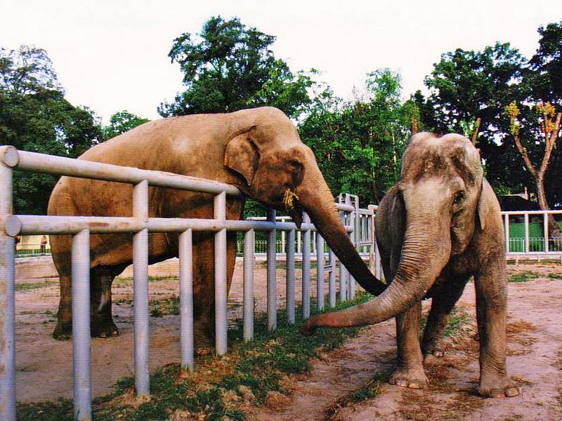 Слон Бой и слониха Дирндл. 1998г.