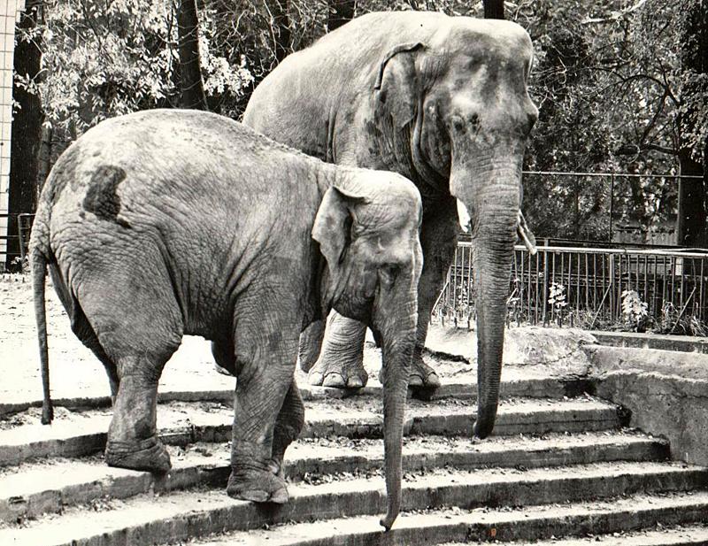 Слон Бой и слониха Бама 80-е года.