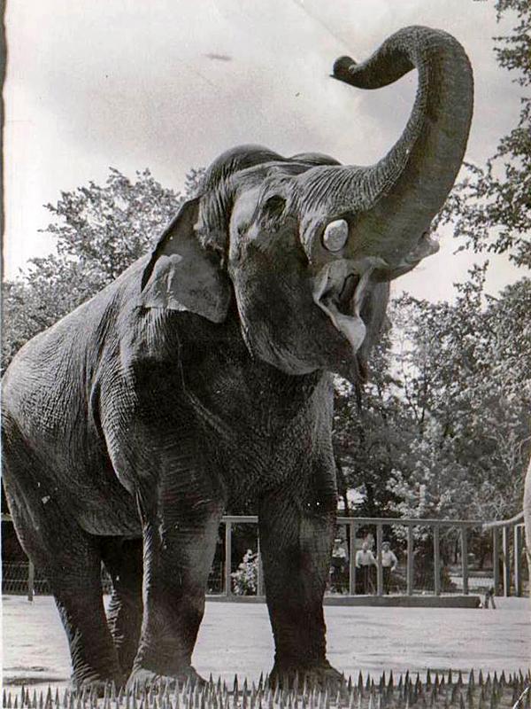 Слон Беби. 1957 р.