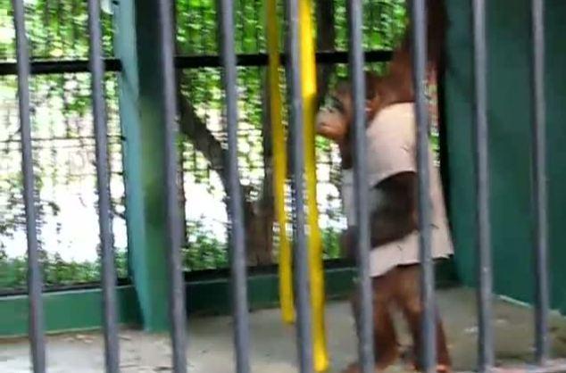 Орангутан Карло просто хотел стать чуточку более похожим на человека