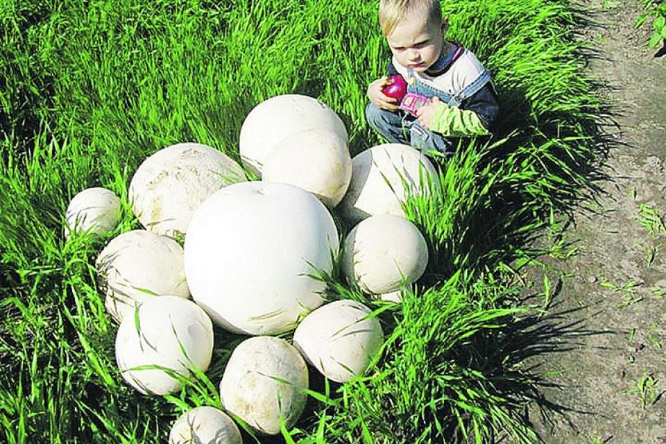 В заброшенном саду выросли гигантские грибы