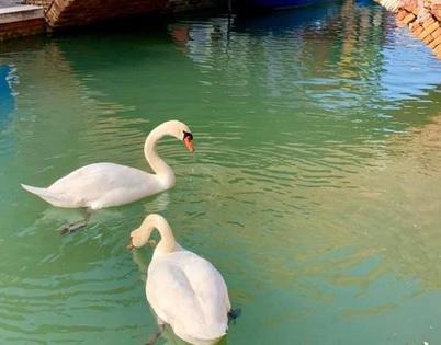 Также плавают лебеди