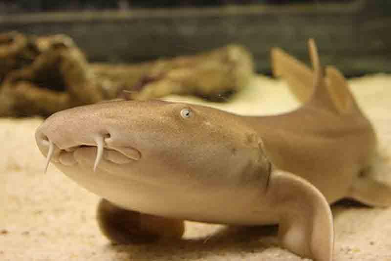 акула нянька фото