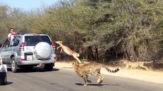 Одна из отставших антилоп случайно прыгнула в автмобиль с людьми
