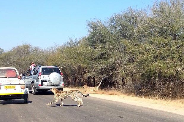 Из машины доносились испуганные крики после прыжка антилопы