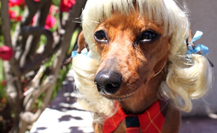 Модные парики и костюмы для домашних животных