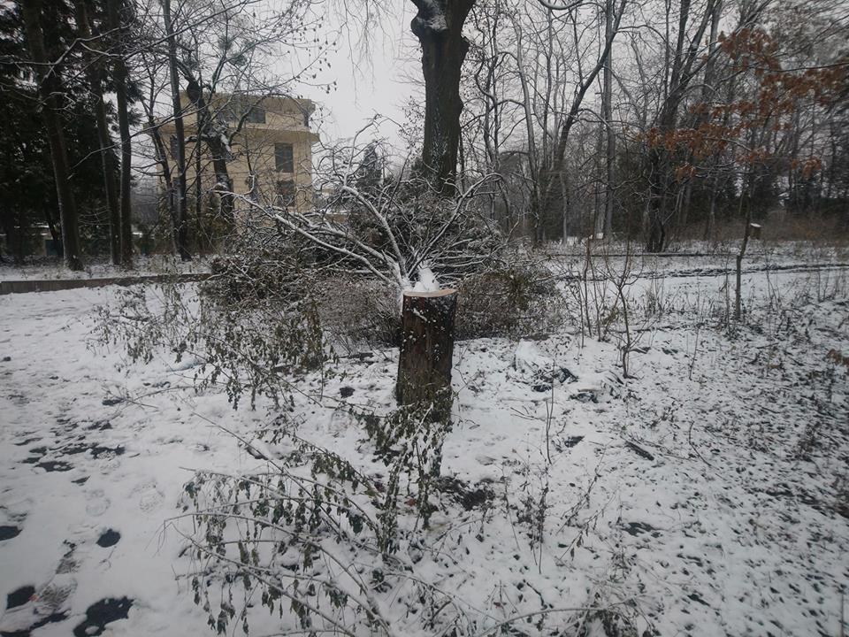 Парк во Львове лишился 12-метрового кипариса