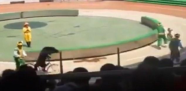 По началу все шло, как планировалось: медведь и две обезьянки катались на велосипеде вокруг манежа