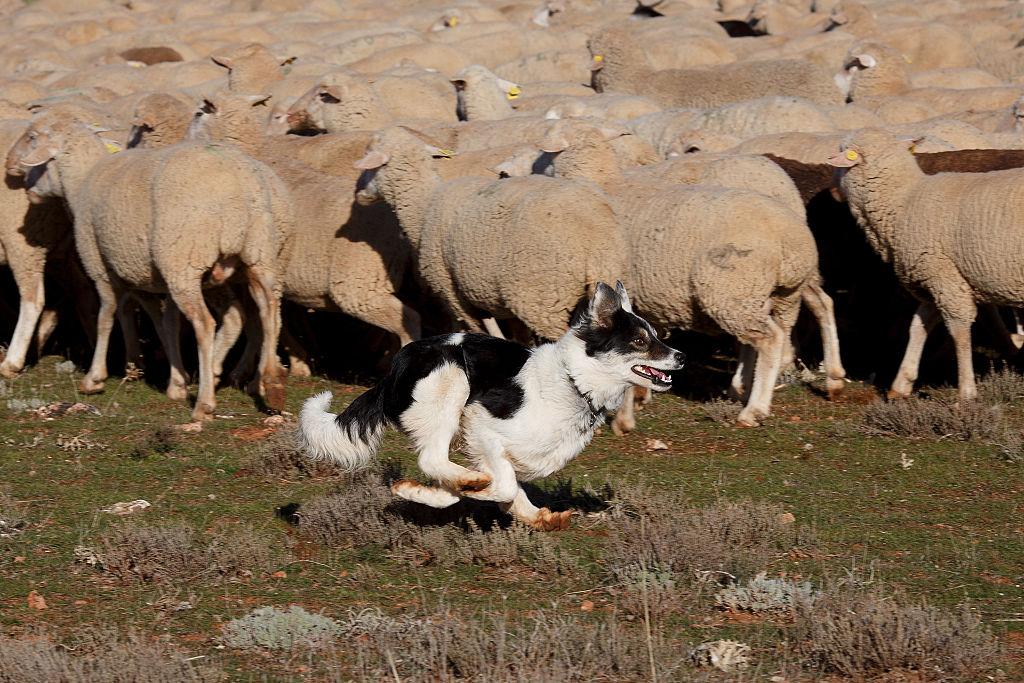 Собаки всегда помогали пастухам выпасать отару