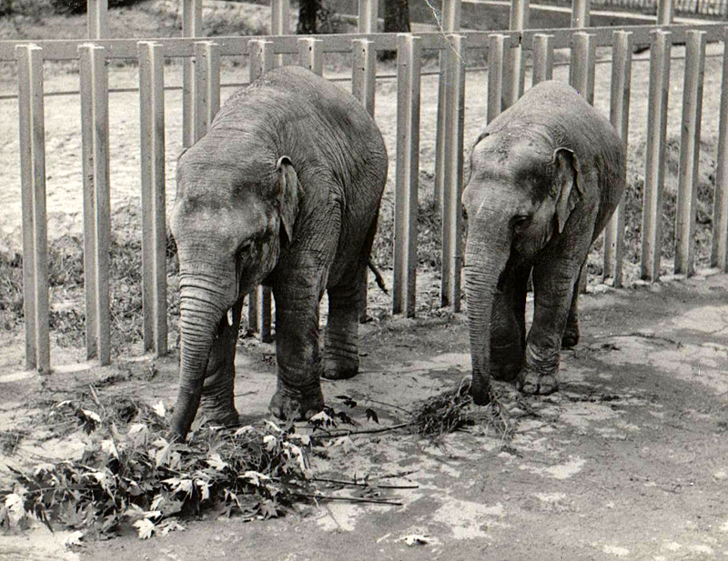 Слонята Бой и Франка. 70-е года.