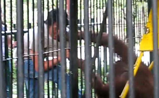 Поначалу орангутан испугал туриста своей настойчивостью