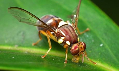 Квинслендская фруктовая муха