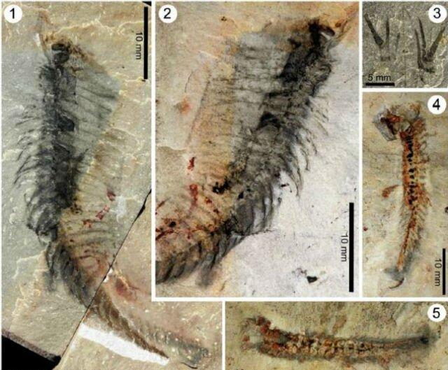 Kooteninchela deppi — предок нынешних насекомых