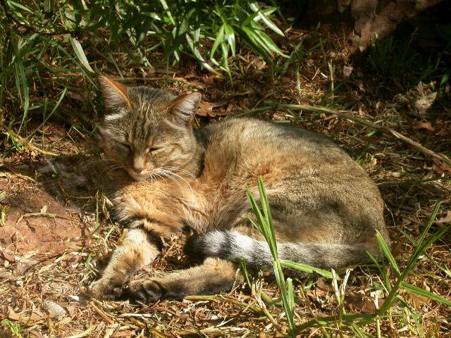 Ранее считалось, что одомашнивание кошек произошло в Египте