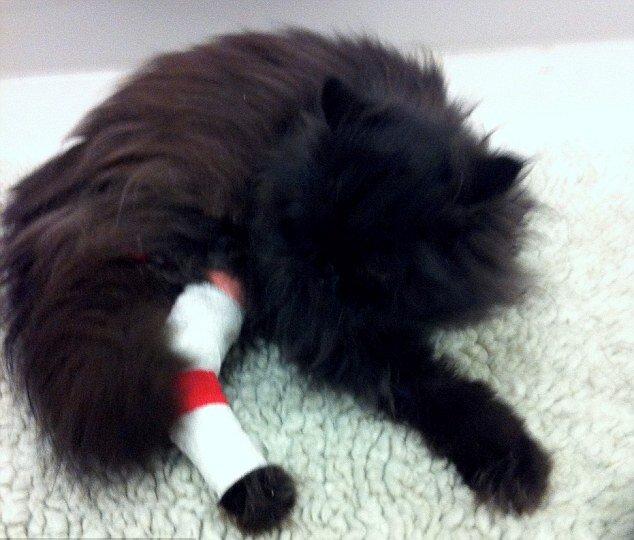 В 2012 году кот потерял третью лапу