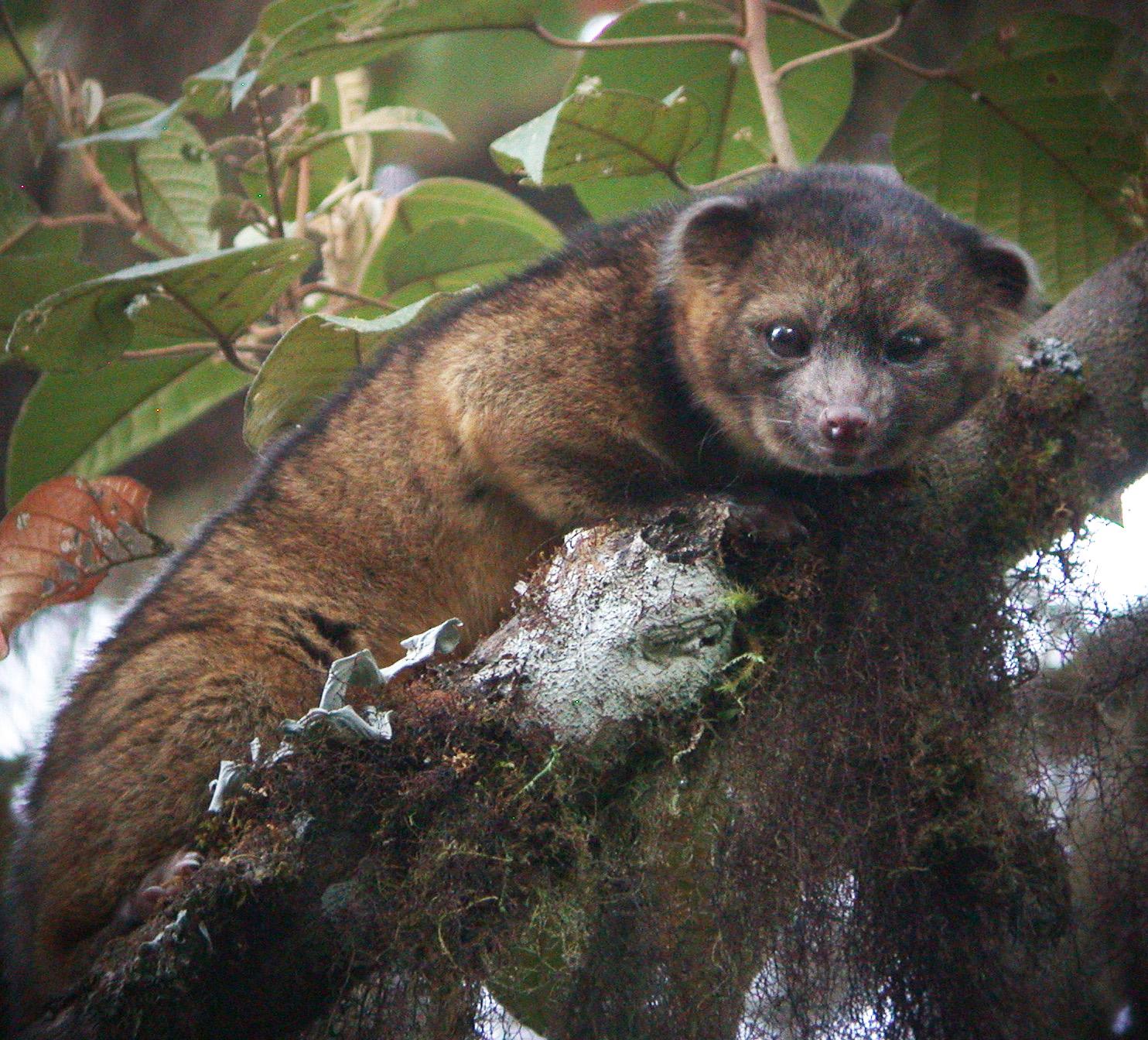 Олингито скрывался в джунглях