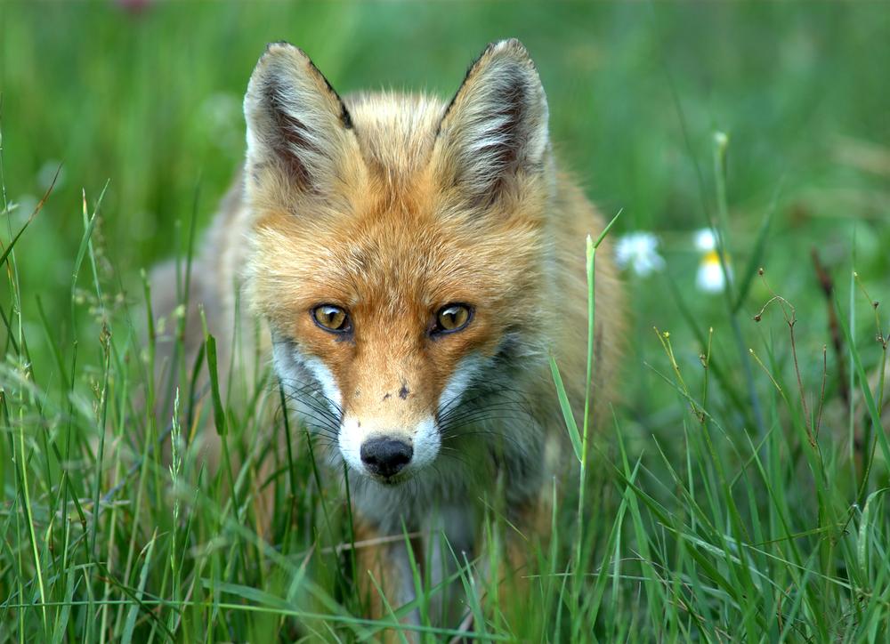 Самая невероятная версия — лисы
