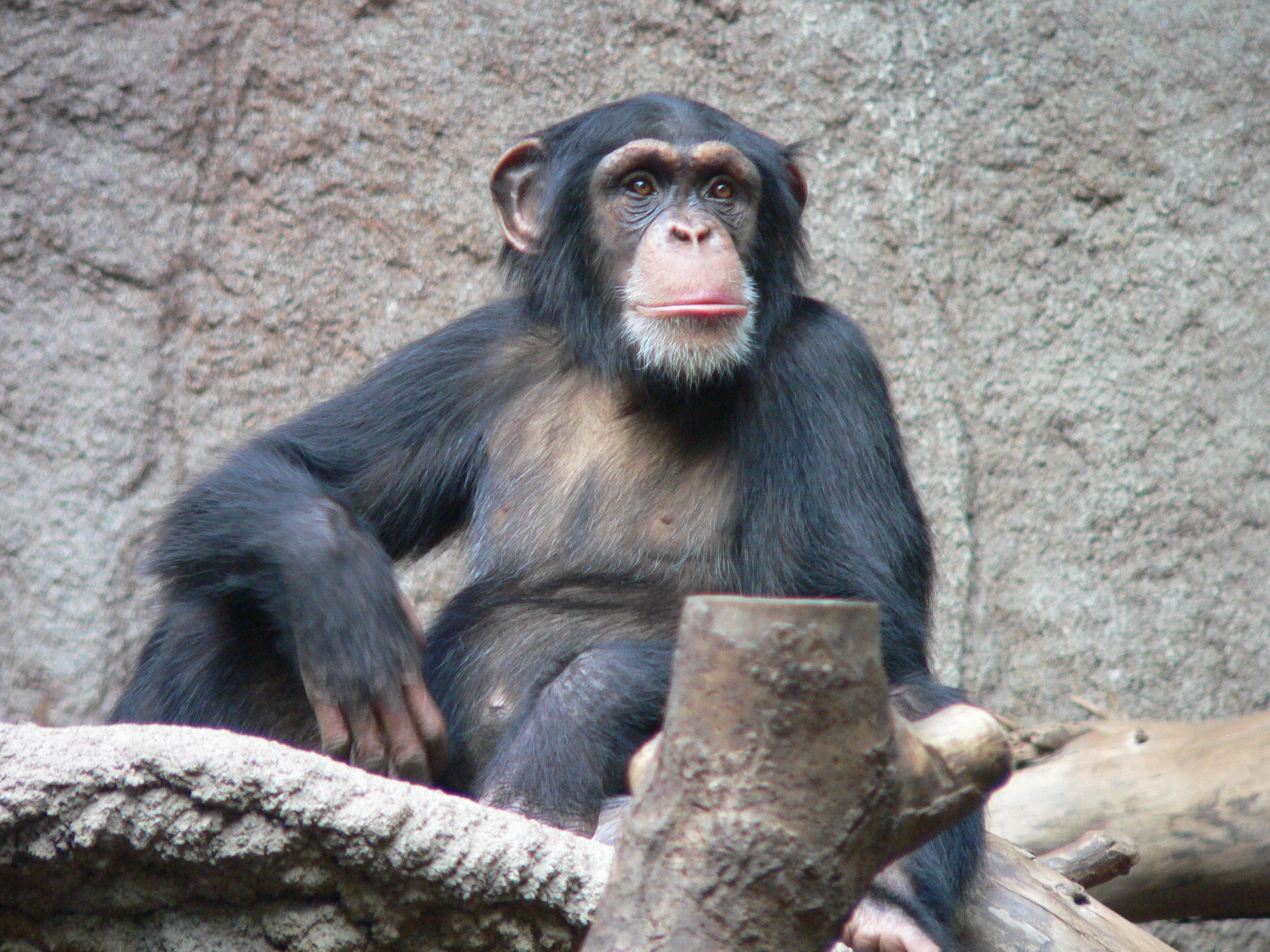 Шимпанзе могут юридически стать личностями