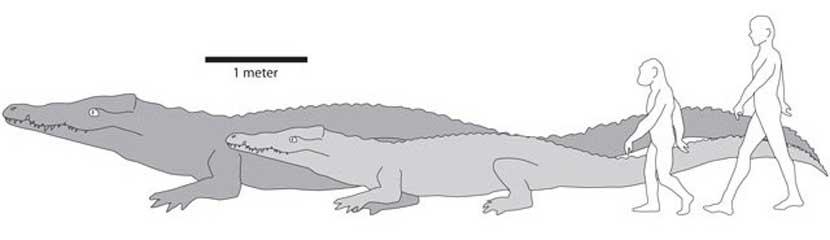 Примерное сравнение древнего и обычного крокодила с человеком