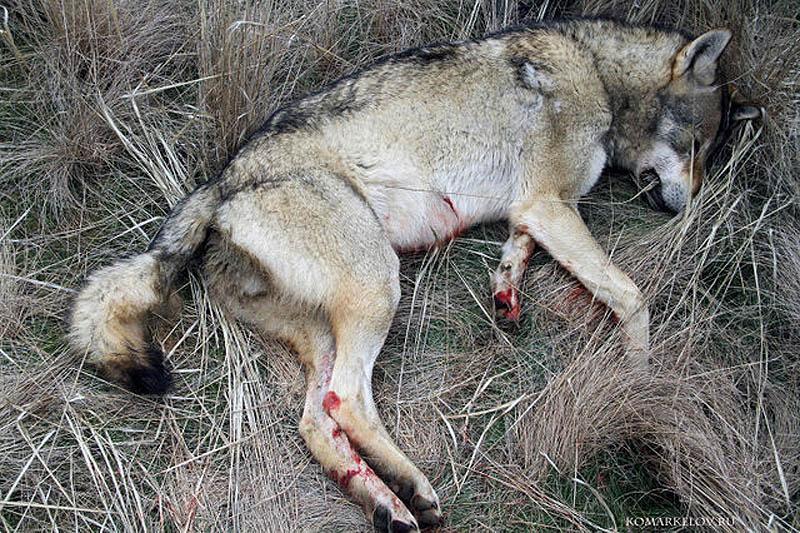 популярным стало есть ли волки в перми термобелье выполняет три