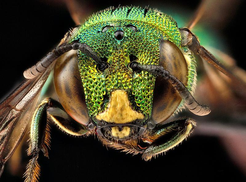Голова самца малого изумрудного шмеля-плотника.