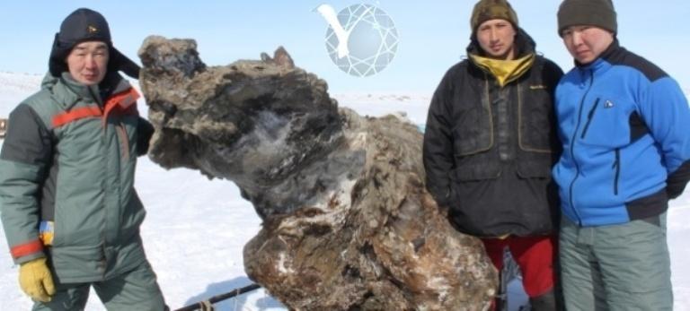 Тушу самки мамонта нашли на Ляховских островах