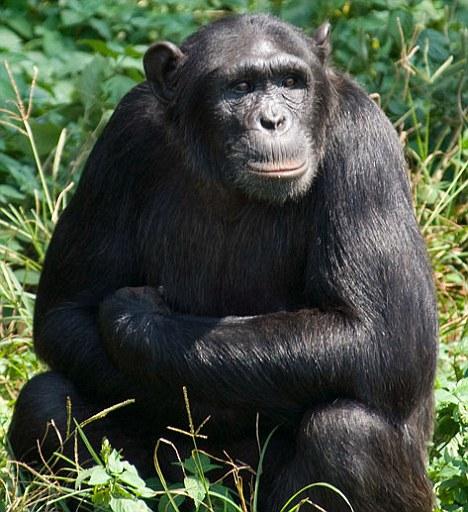 Шимпанзе Наташа может манипулировать людьми
