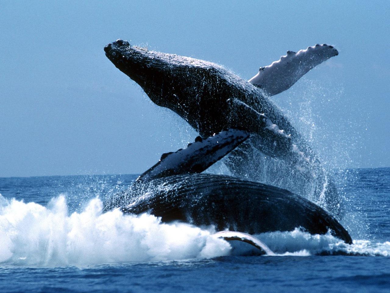 Один голубой кит тяжелее стада слонов