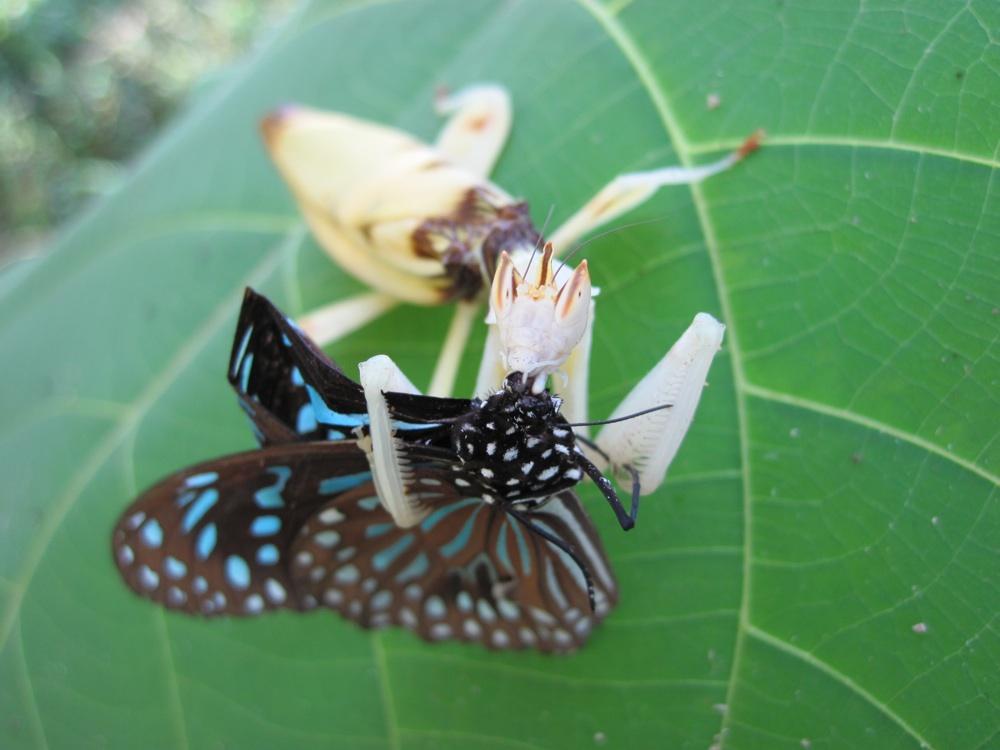Жертва попалась на уловку орхидейного богомола