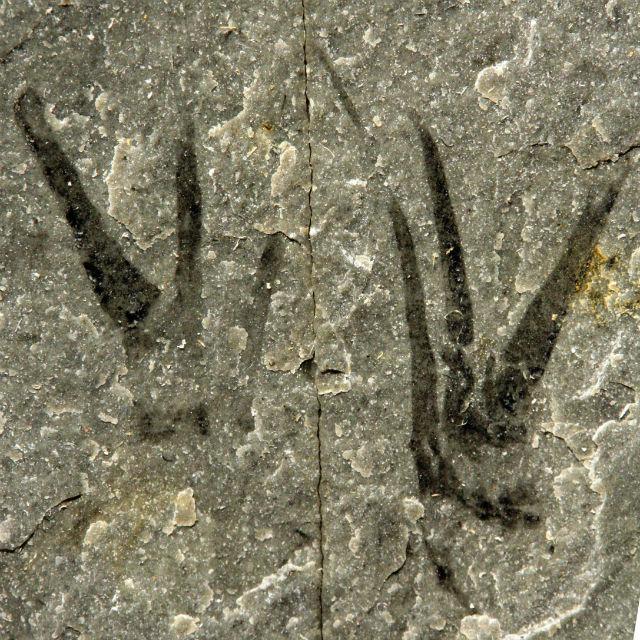 Kooteninchela deppi нашли в Британской Колумбии
