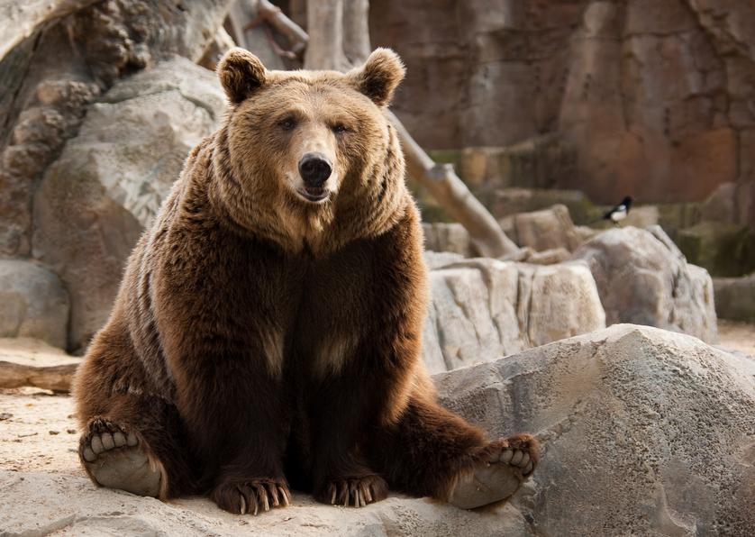 Снежный человек имеет родство с бурым медведем