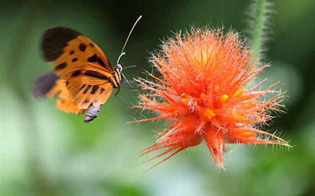 Бабочки вида Heliconius numata