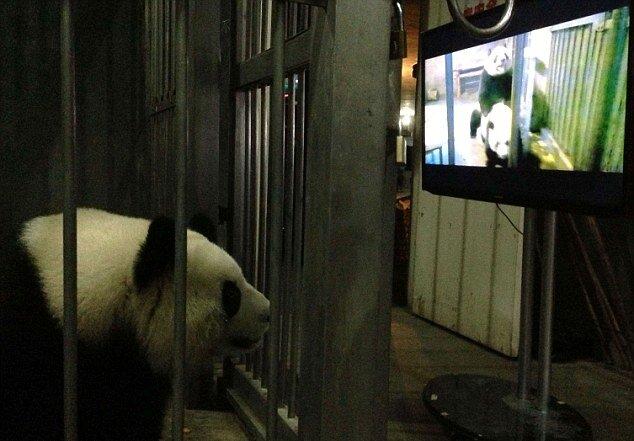 Порно для панды