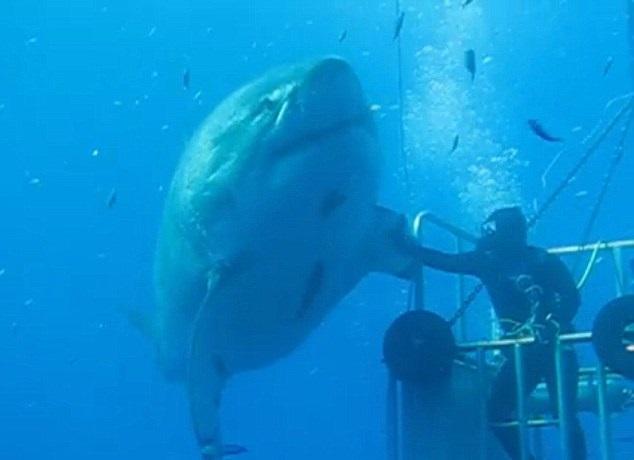 Самая большая акула в мире фото фото 613-780