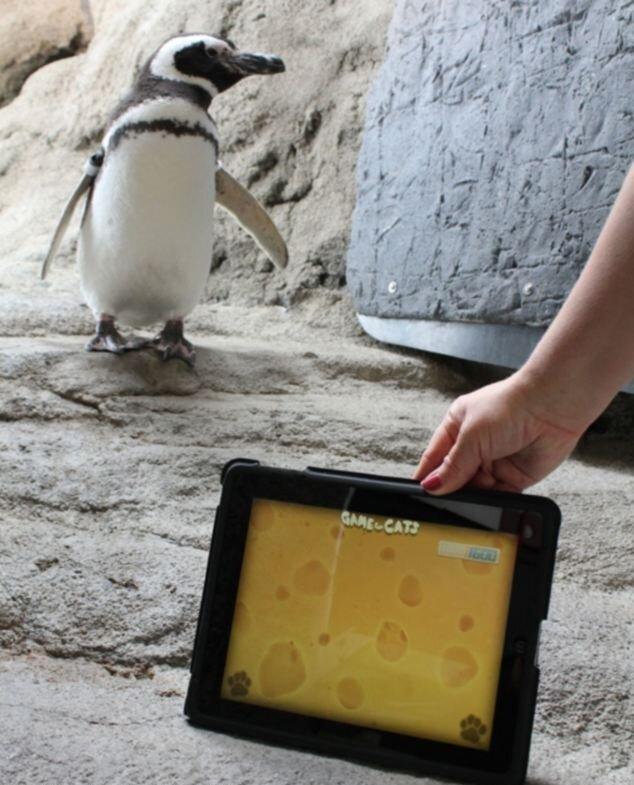 Игра для кошек понравилась и пингвинам