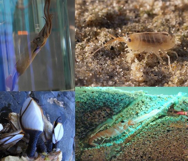 Беспозвоночные, употребляющие мусор. По часовой стрелке: неоновый летающий кальмар, норвежский омар, бокоплав вида Talitrus saltator, усоногие рода Lepas