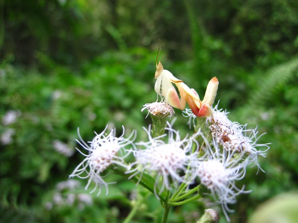 Орхидейный богомол привлекает насекомых-опылителей